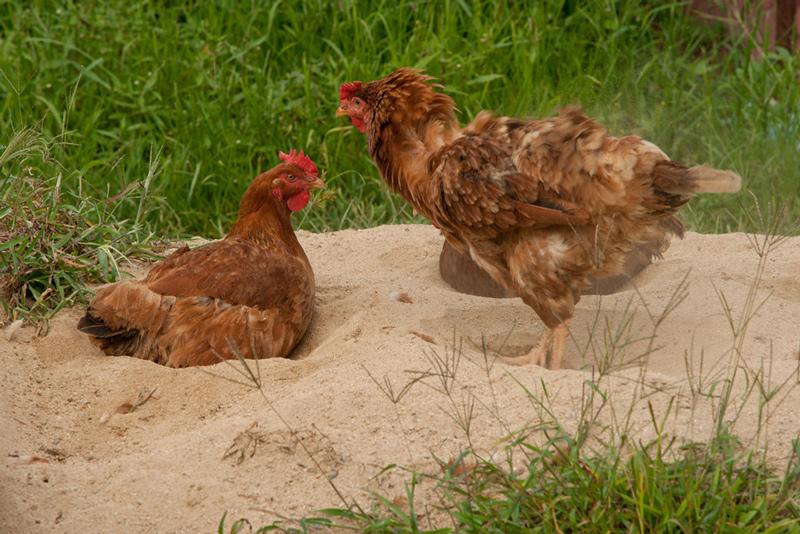 Bains de sable pour le nettoyage des poules