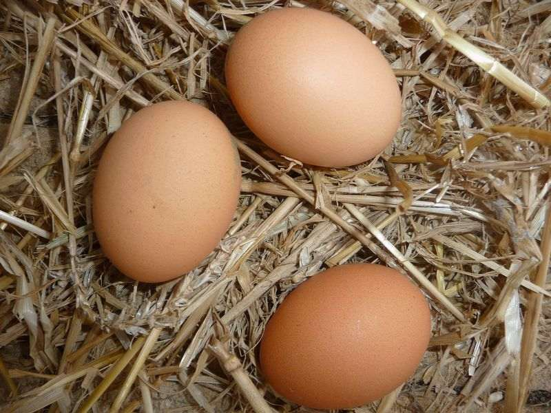 Conseils pour avoir des oeufs de poules en hiver
