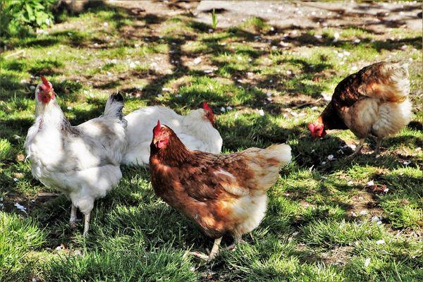 Créer un parcours à l'ombre pour ses poules
