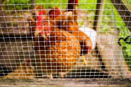 Construire un enclos pour poules