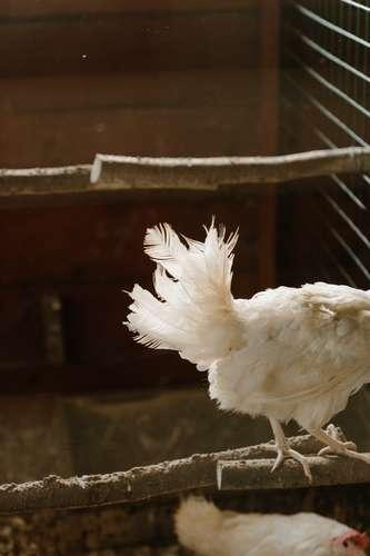 maladie de pattes de poules