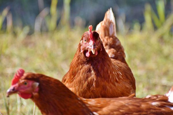 comment lutter contre le picage entre poules