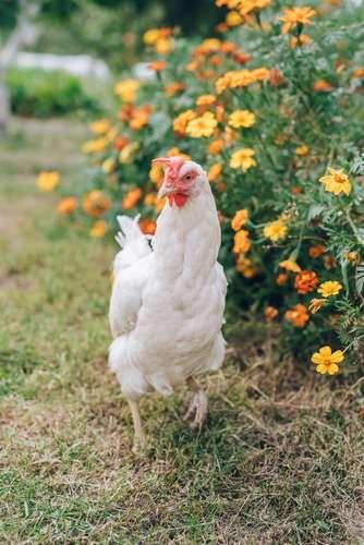 Les poules mangent les mauvaises herbes