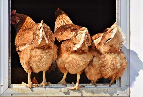 poules hésitant à rentrer dans le poulailler à cause des poux rouges