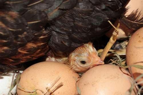 mettre un poussin dans le nid